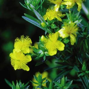 Ames St Johns Wort blooms and buds