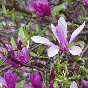 Ann Magnolia Blooms Close Up