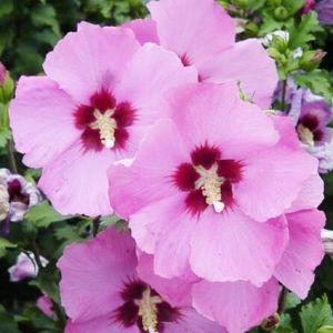 Aphrodite Rose of Sharon Flowers Close Up