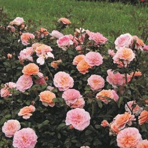 Apricot Drift Rose blooming