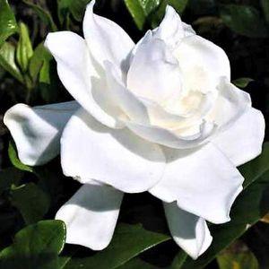 August Beauty Gardenia Bloom
