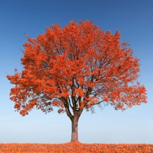 Autumn Fantasy Red Maple Tree overview