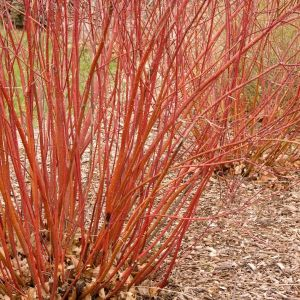 Bailey Red Twigged Dogwood Branches