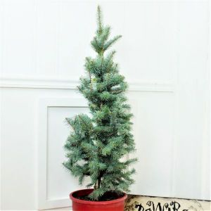 Baker's Colorado Blue Spruce Holiday Tree Overview