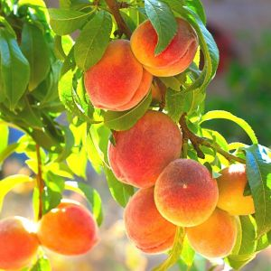Belle of Georgia Peach Tree