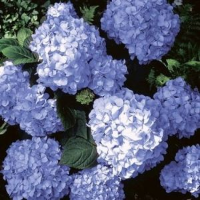 Big Daddy Hydrangea blooms and foliage