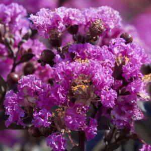 Black Diamond® Purely Purple™ Crape Myrtle blooms