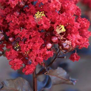 Black Diamond® Red Hot™ Crape Myrtle blooms close up
