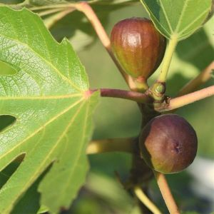 Black Mission figs with two crops a year