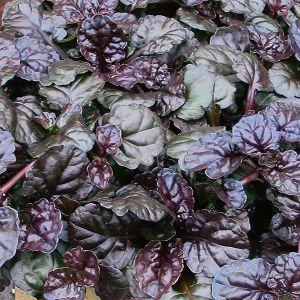 Black Scallop Ajuga foliage