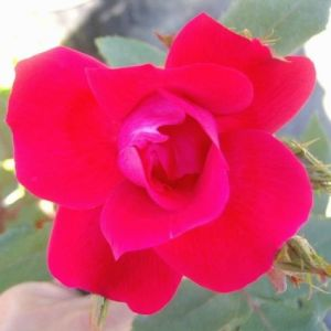 Blaze Improved Climbing Rose Overview