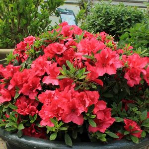 Bloom-A-Thon Red Reblooming Azalea Overview