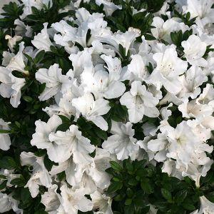 Bloom-A-Thon® White Azalea overview