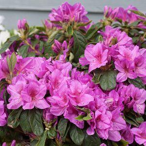 Bloom-A-Thon® Lavender Reblooming Azalea blooms