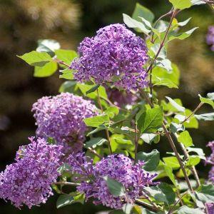 Bloomerang® Dark Purple Overview