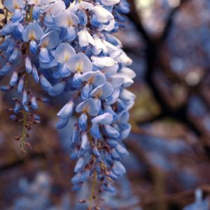 Blue Chinese Wisteria Vine Overview