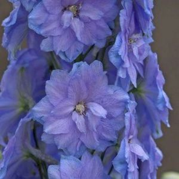 Blue Lace Delphinium Overview