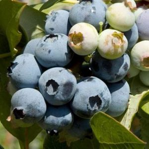 Bluecrop Blueberry close up of fruit and foliage