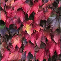 Boston Ivy Fall Color