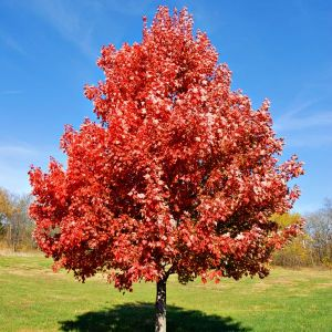 Brandywine Maple Tree Overview