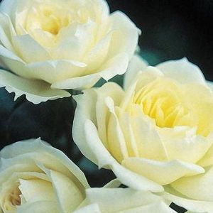 Bridal Sunblaze® Rose multiple blooms