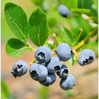 Brightwell Blueberry