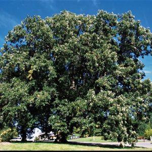 Bur Oak Tree Overview
