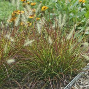 Burgundy Bunny Grass landscape