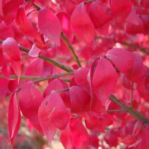 Burning Bush Compacta Red
