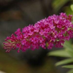 Buzz Magenta Butterfly Bush flower close up