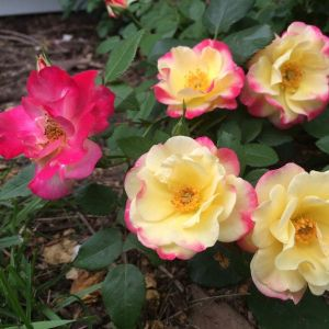 Campfire Rose blooms and foliage