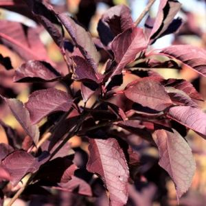 Canada Red Select Cherry Tree Leaves