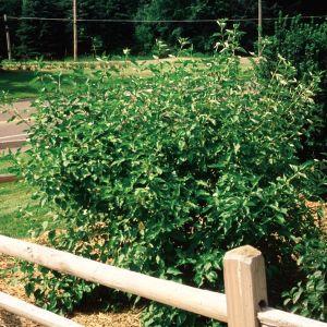 Cardinal Red Osier Dogwood landscape