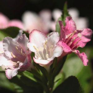 Carnaval Weigela Flower Close Up