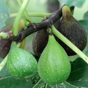 Closed Eye Fig, Self Fertile Fig Tree