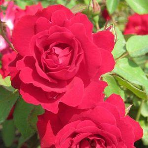 Champlain Rose Shrubs Close Up