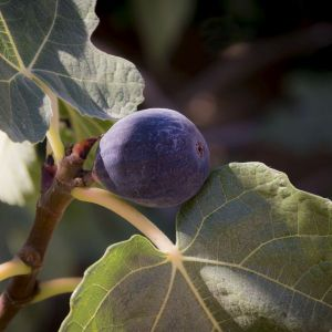 Chicago Hardy Fig Tree, Ficus carica 'Chicago Hardy'
