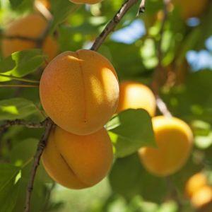 Chinese apricot tree, Prunus armeniaca 'Chinese'