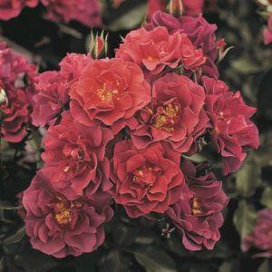 Cinco De Mayo Rose blooms