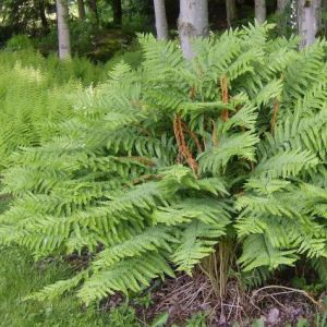 Christmas Fern Overview