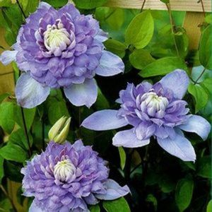 Clematis Blue Light blooms and foliage