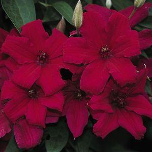 Clematis Cardinal Wyszynski blooms and buds