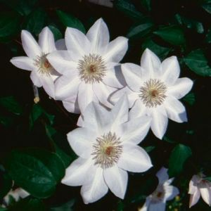 Clematis Henryi Overview