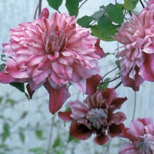 Clematis Patricia Ann Fretwell blooms