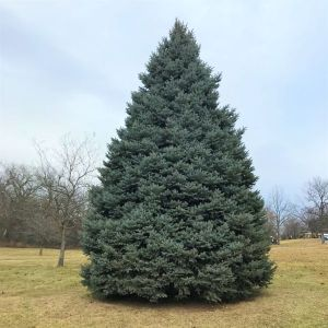 Colorado Blue Spruce Tree Overview