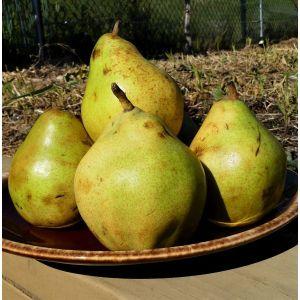 Comice Pear Tree, buy Comice Pear Tree, Pyrus comice pear