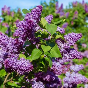 Common Purple Lilac flowers smell delicious in spring