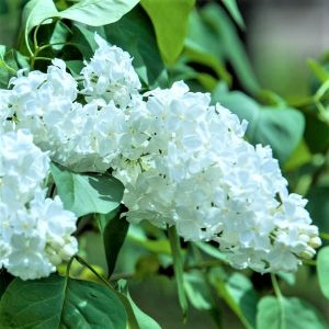 Common White Lilac Overview