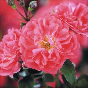 Coral Drift Groundcover Rose flower blooms