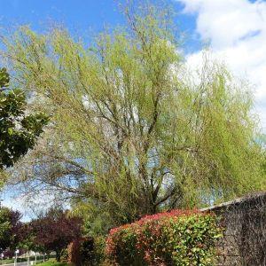 Corkscrew Willow Close Up